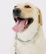 Choke dog collar-Labrador wallking collar/Dog training collar