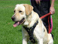 Tracking / Walking dog harness made of leather To Fit Labrador