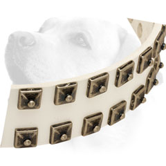 White Leather Labrador collar with nickel studs