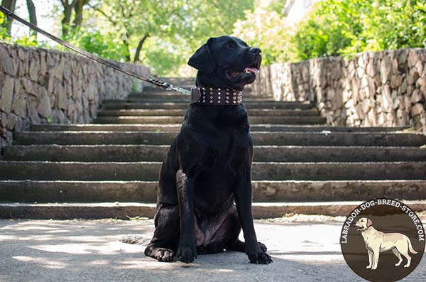 Labrador brown leather collar with duly riveted cones for daily walks