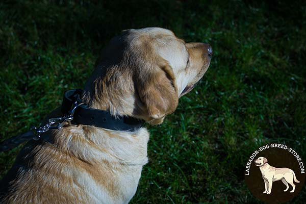 Labrador black leather collar of high quality with nickel plated hardware for quality control
