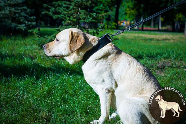 Labrador black leather collar with rust-resistant fittings for improved control