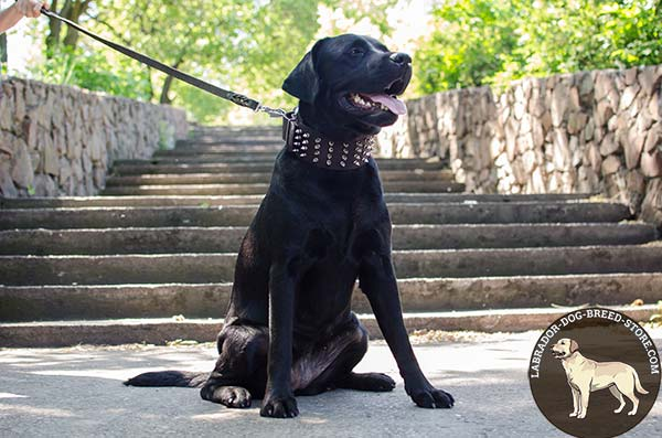 Labrador brown leather collar of high quality with spikes for stylish walks