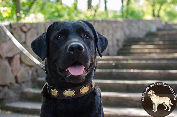Glamorous Leather Labrador Collar with Brass Plated Oval Plates