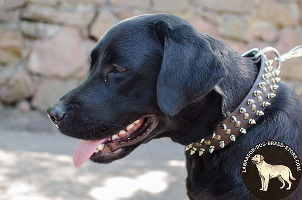 Splendid Leather Labrador Collar with Spikes and Studs for Walking