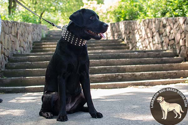 Walking Leather Labrador Collar with Stylish Studs