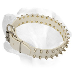 Labrador collar with nickel spikes for walking and training