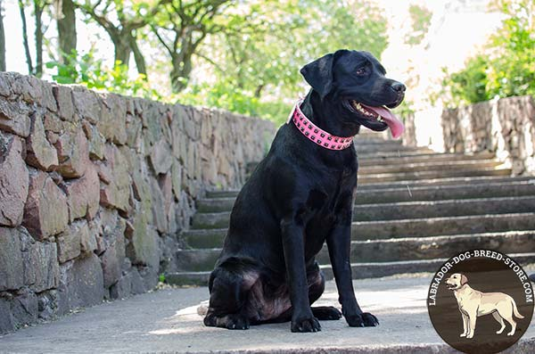Glamorous Pink Leather Labrador Collar with Hand-Placed Dotted Square Studs