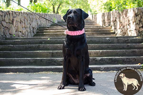 Fancy Pink Walking Leather Labrador Collar with Spikes