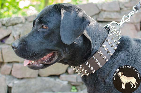 Comfy Wide Leather Labrador Collar with Spikes