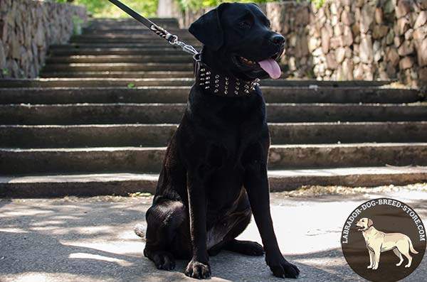 Leather Labrador Collar Decorated with Fancy Spikes