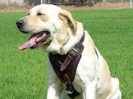 Labrador dog harness, nylon harnesses, leather harnesses for Labrador