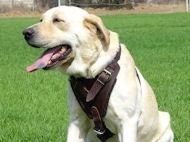 Labrador dog harness, nylon harnesses, leather harnesses for Labrador