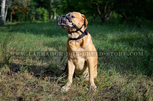 Averyday Activities Labrador Muzzle
